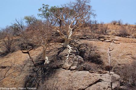 Arbres dont les racines s'insinuent dans les diaclases de l'inselberg granitique des Three Sisters, Afrique du Sud