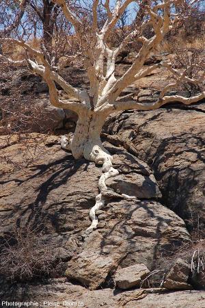 Arbre dont les racines s'insinuent dans les diaclases de l'inselberg granitique des Three Sisters, Afrique du Sud