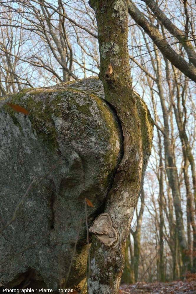 Chêne dont la croissance en épaisseur a été considérablement gênée par la présence d'une boule de leucogranite, rochers de Puychaud, Blond, Haute Vienne