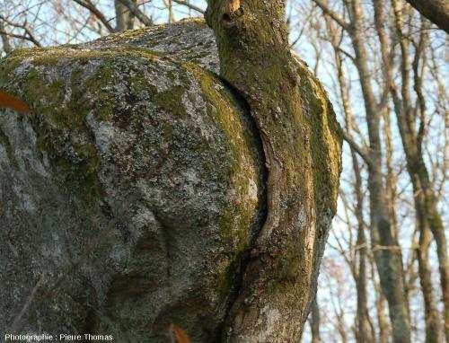 Chêne dont la croissance en épaisseur a été considérablement gênée par la présence d'une boule de leucogranite, zone de contact, rochers de Puychaud, Blond, Haute Vienne
