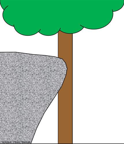Coupe longitudinale théorique schématique passant par le milieu du tronc du chêne montrant la réduction d'épaisseur du tronc au niveau du bloc de granite