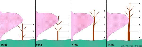 Schéma théorique montrant comment un arbre poussant près d'un rocher peut acquérir une morphologie à tronc localement réduit en diamètre