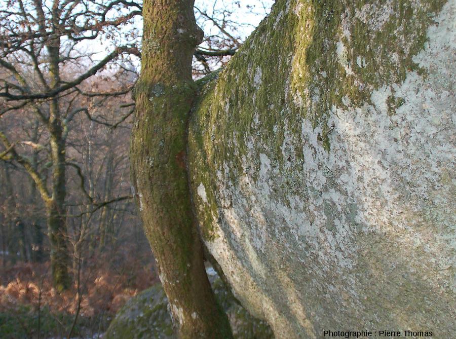 Vue de l'autre côté du tronc de chêne dont la croissance en épaisseur a été considérablement gênée par la présence d'une boule de leucogranite, rochers de Puychaud, Blond, Haute Vienne