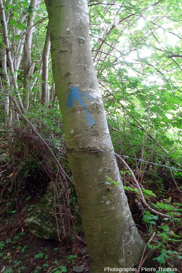 Fil de fer barbelé englobé par un tronc d'arbre au cours de sa croissance