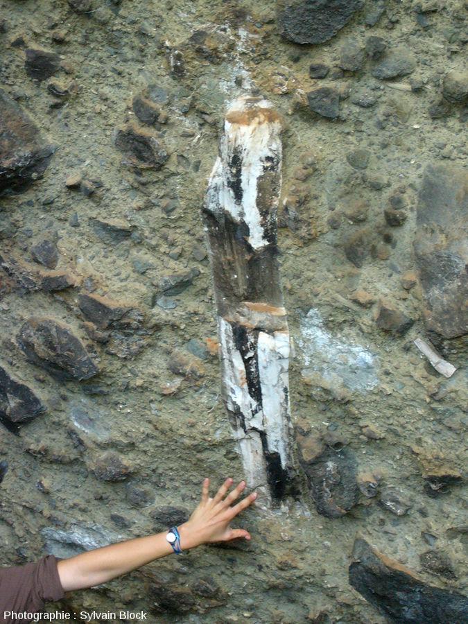 Tronc d'arbre silicifié pris dans une coulée pyroclastique du flanc Nord-Ouest du Mont Elgon, Ouganda