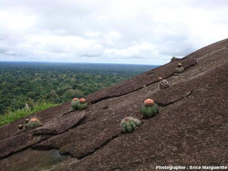 Sur les flancs du Voltzberg, cactées et végétation xérophytique en pleine forêt équatoriale humide