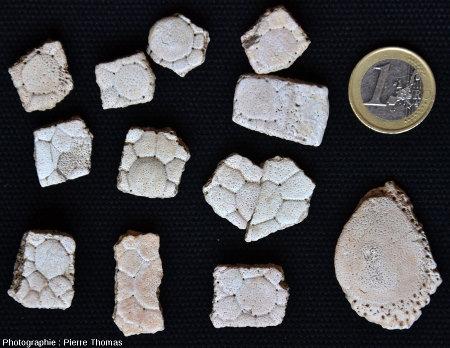 Écailles d'un glyptodontidé ramassées dans les sédiments détritiques continentaux d'âge mio-pliocène de la bordure orientale des Andes de Patagonie argentine