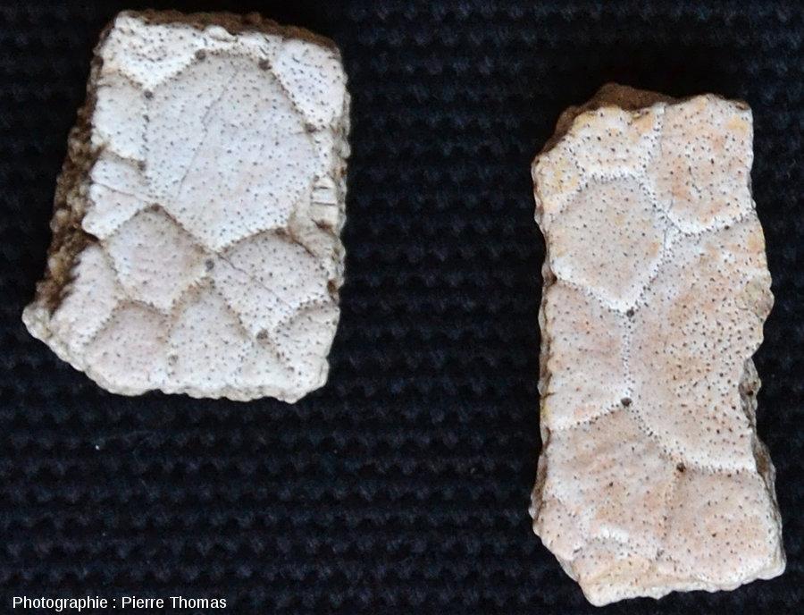 Gros plan sur 2 fragments d'écailles de glyptodontidé