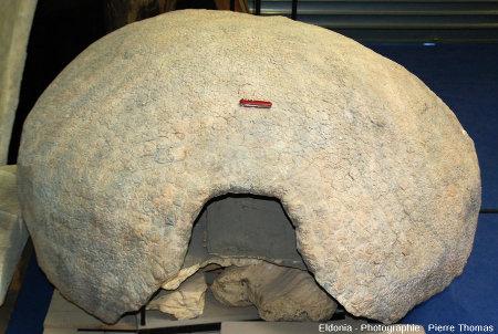 Vue d'ensemble d'une carapace de glyptodontidé