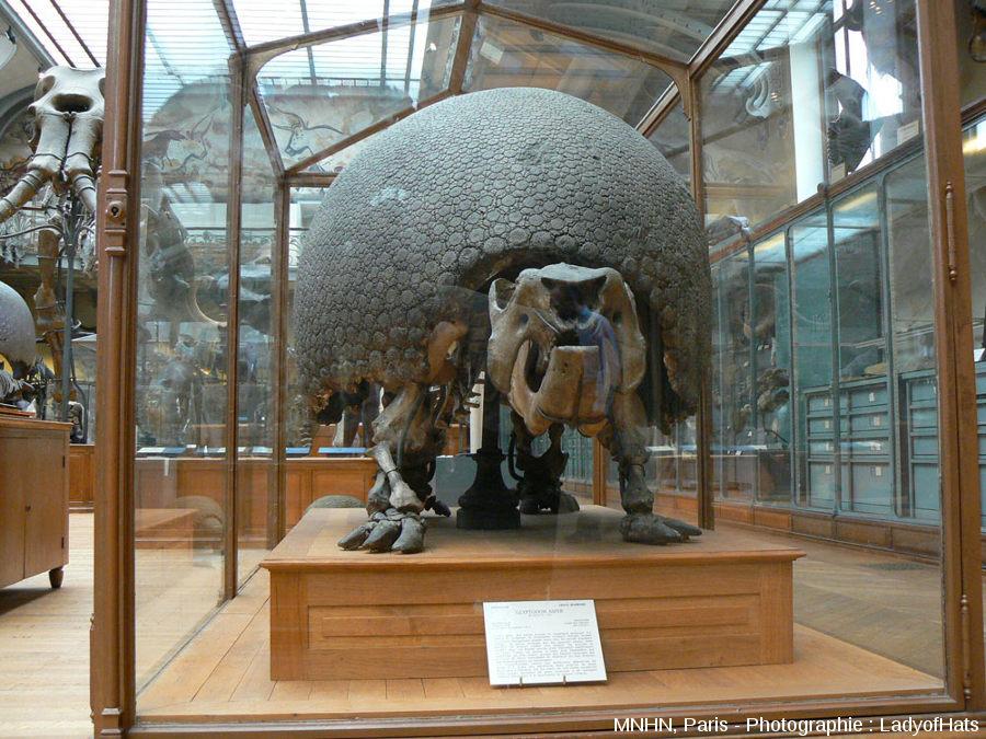 Le Glyptodon du Muséum National d'Histoire Naturelle de Paris (MNHP), avec sa carapace dorsale «en position de vie» sur son squelette