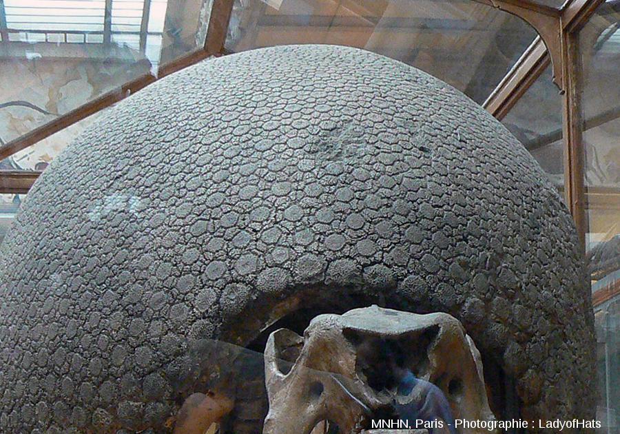 Détail sur les écailles du bord de la carapace du Glyptodon du MNHN de Paris