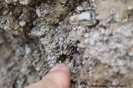 Nummulites oligocènes du Rocher de la Vierge, Biarritz