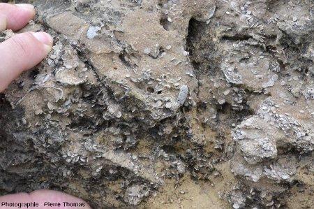 Détail sur un banc où, en plus des nummulites, on devine des sections de coquilles de bivalves et des plaques blanches qui sont des fragments d'oursins