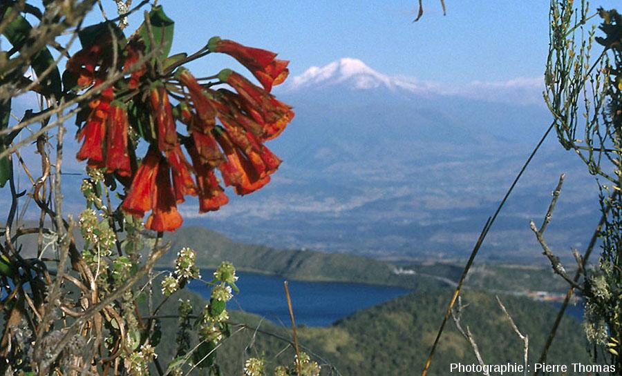 Belles fleurs sur fond de caldeira et du volcan Cayambe, Équateur