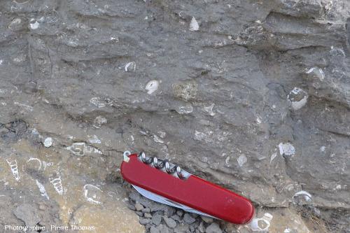 Fossiles marins variés dans les marnes de l'Yprésien inférieur (encore appelé Ilerdien), Éocène basal, commune de Coustouge (Aude)