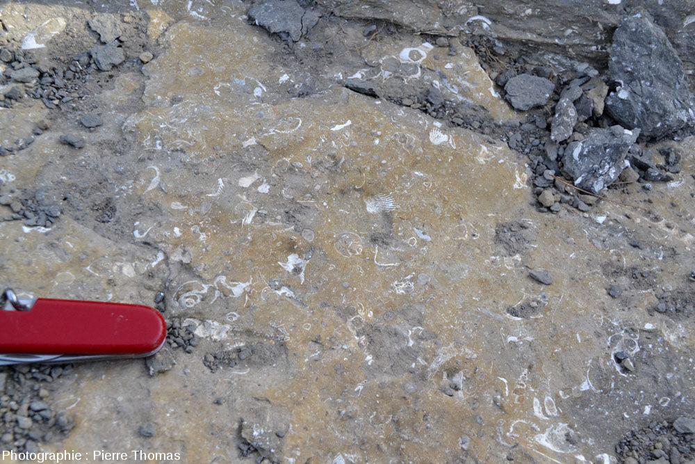 Un secteur de la même couche à gastéropodes, avec des Natica sp., des fragments de coquilles de bivalve, des foraminifères…