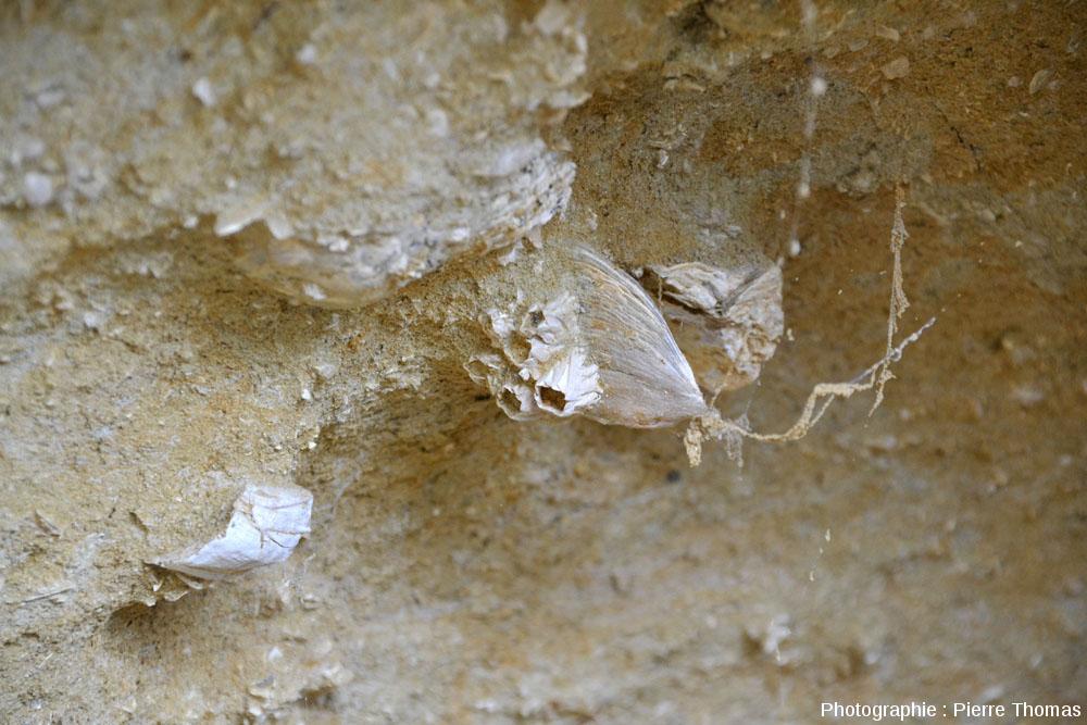 Coquille de bivalve à balanes, Miocène inférieur à moyen marin, île Sainte Lucie, Aude