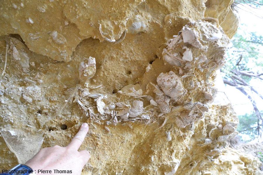 Fragment de bivalve portant une superbe balane, Miocène inférieur à moyen marin, île Sainte Lucie (Aude)