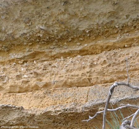 Vue rapprochée de cet affleurement avec bancs de lumachelle interstratifiés dans un sable bioclastique peu consolidé