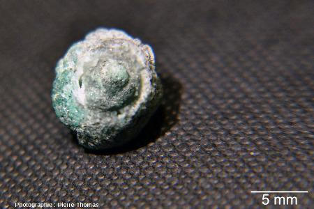 Gastéropode (Ataphrus sp.?) du Crétacé inférieur presque entièrement épigénisé, rempli d'un mélange calcite-émeraude, vu par l'apex