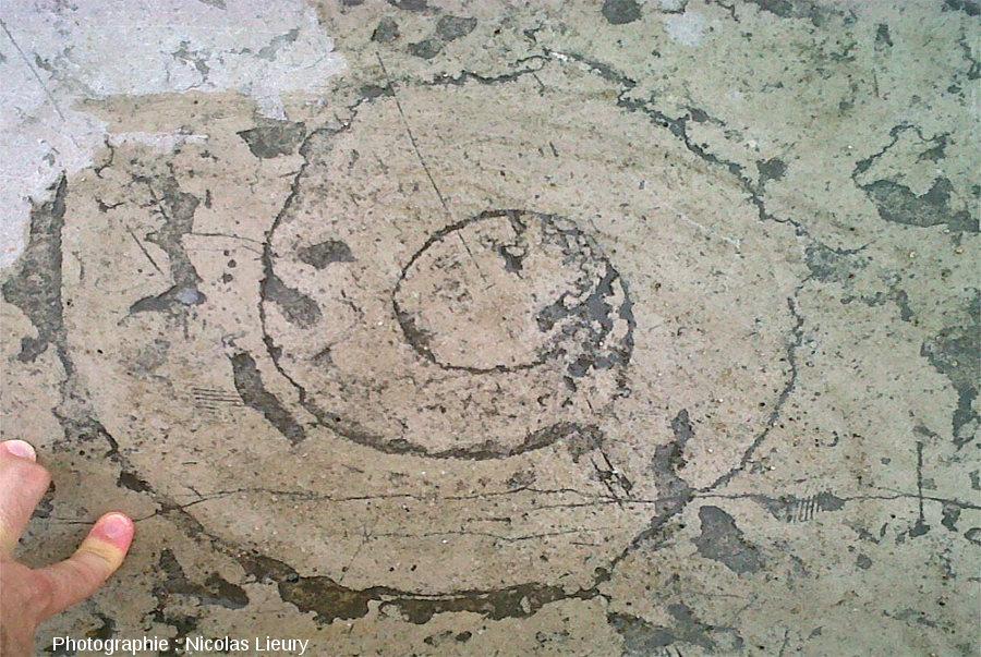 Ammonite de belle taille dans une dalle calcaire de l'esplanade du Trocadéro, Paris