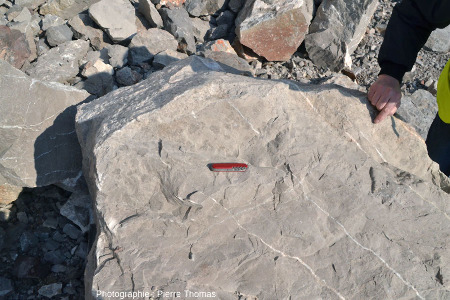 Vue générale d'un bloc de calcaire viséen de la Carrière du Boulonnais (Pas de Calais) montrant la section d'une couche à oncolites pluricentimétriques