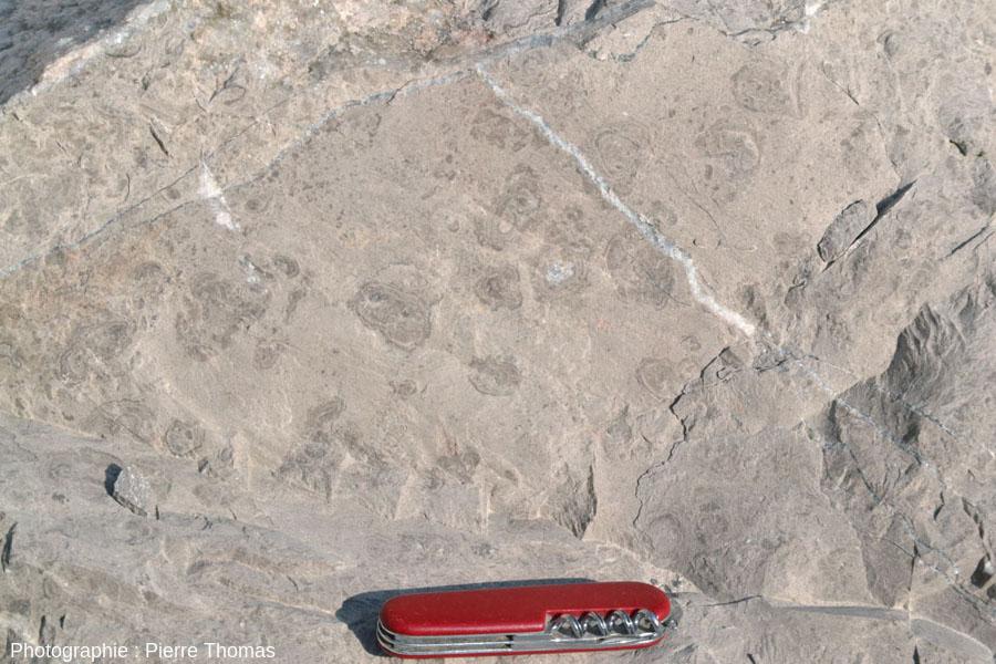 Vue rapprochée d'un bloc de calcaire viséen de la Carrière du Boulonnais (Pas de Calais) montrant la section d'une couche à oncolites pluricentimétriques