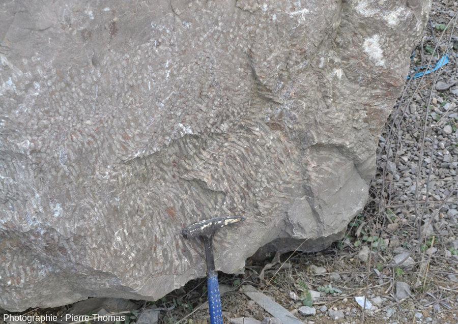 Base d'un bloc de calcaire du Viséen de la Carrière du Boulonnais (Pas de Calais) montrant de superbes coraux regroupés (récif de Siphonodendron martini)