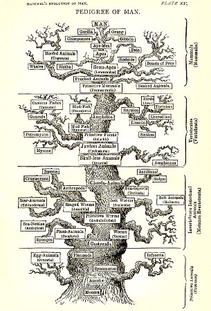 Planche XV de l'ouvrage de Ernst Haeckel (version anglaise) The Evolution of Man (1879)