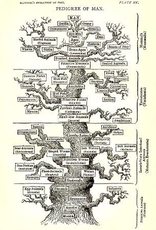 Planche XV de l'ouvrage de Ernst Haeckel (version anglaise) The Evolution of Man (1879)
