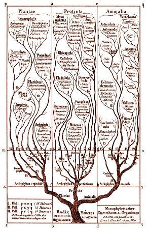 Un autre arbre de la vie dessiné par Ernst Haeckel en 1866 dans Generelle Morphologie der Organismen