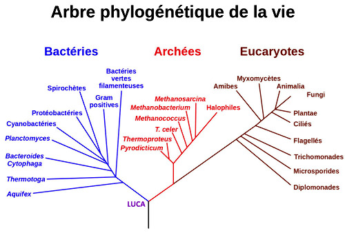 """Représentation des 3 grands phylums du monde vivant avec un arbre """"classique"""""""
