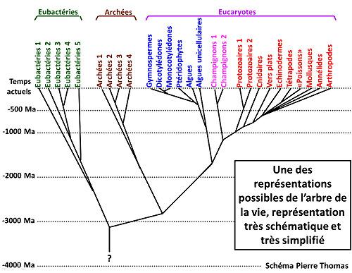 Extrait d'un de mes anciens cours montrant un arbre phylogénétique en forme de pin parasol privilégiant la dimension temporelle de l'Évolution (les dates de divergence ne sont données qu'à titre très indicatif)
