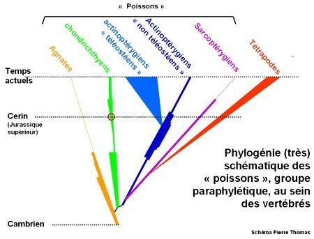 """Extrait d'un article de Planet-Terre montrant un arbre phylogénétique (en forme de pin parasol pour privilégier la dimension temporelle) du groupe paraphylétique des """"poissons"""" au sein des vertébrés"""