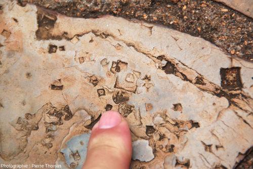 Empreintes fossiles (≈ pseudomorphoses) de trémies de sel (halite) dans un silt induré, chemin de Bourke's Luck Potholes, canyon de la Blyde River, Afrique du Sud