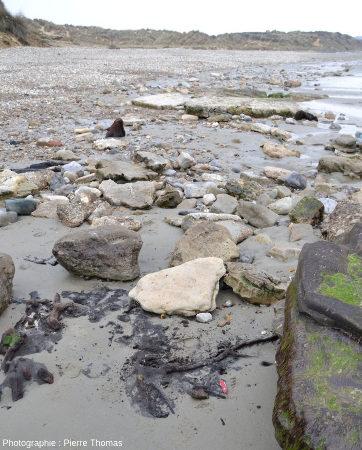 Débris de bois inclus dans des tourbes argileuses de la plage de la Pointes aux Oies, Wimereux (Pas de Calais)