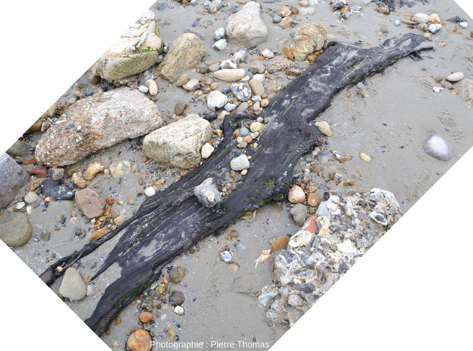 Vue rapprochée d'un gros tronc horizontal pris dans et dépassant d'un banc de tourbe, banc presque invisible car presque entièrement recouvert de sable, Pointe aux Oies, Wimereux, Pas de Calais
