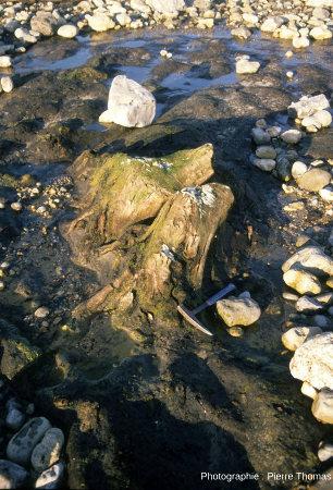 Autre souche en place avec racines dépassant d'un gros banc de tourbe, photographiée en 1989 juste avant le coucher du soleil, Pointe aux Oies, Wimereux, Pas de Calais