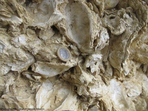 Coquilles d'huîtres fossiles dans le «banc à Huîtres» très riche en Ostrea aquitanica du Burdigalien de Sainte Croix du Mont (Gironde)