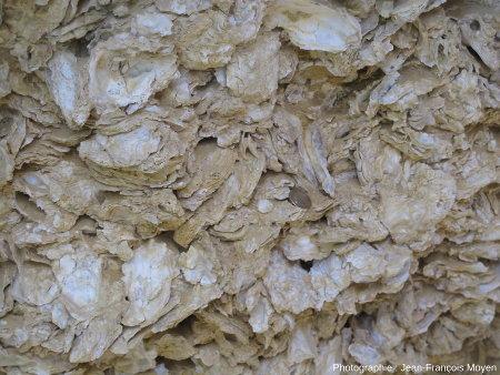 Huîtres fossiles miocènes de Sainte Croix du Mont (Gironde)