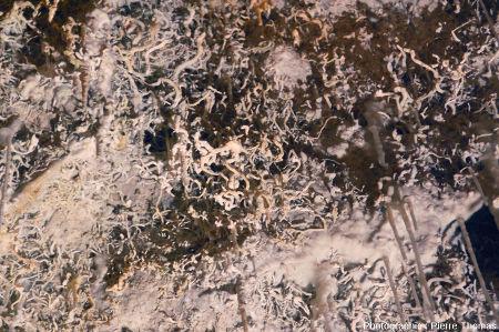 Fouillis d'excentrique croissant au plafond d'une salle de la grotte de Clamouse (Hérault), à la base et entre des stalactites classiques