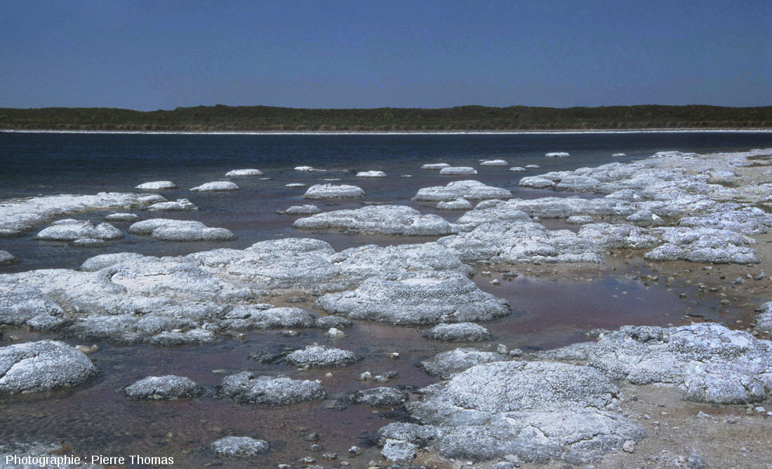 Un secteur de la côte Sud du lac Thetis (Australie Occidentale) photographié en février pendant les basses eaux d'été, côte particulièrement riche en concrétions stromatolithiques