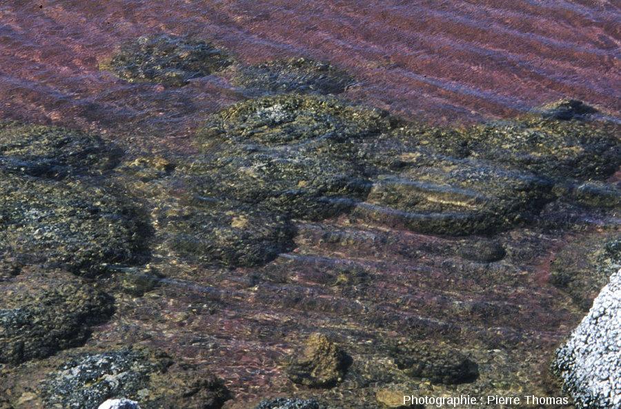 Gros plan sur des coupoles stromatolithiques encore immergées, lac Thetis (Australie)