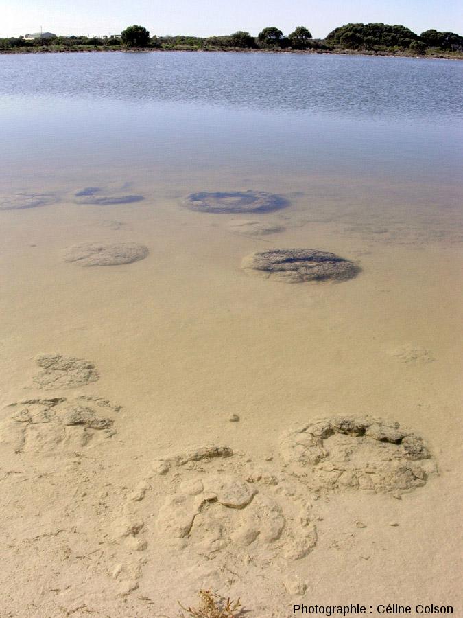 Vue d'ensemble de coupoles stromatolithiques immergées pendant le mois de juillet 2004, période de hautes eaux du lac Thetis (Australie)