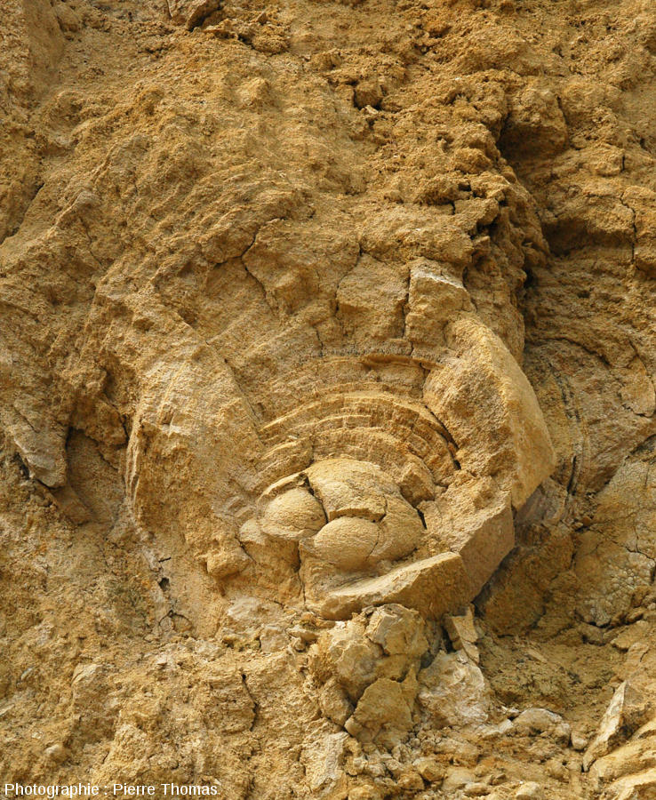 Zoom sur un stromatolithe à structure interne en couches concentriques, carrière du Mont Libre (Gannat, Allier)
