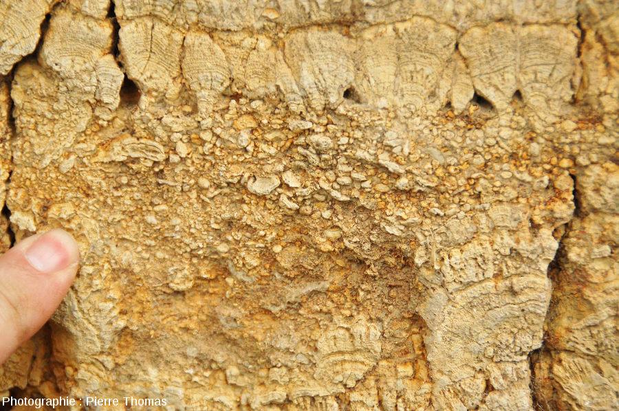 Détail du niveau clastique interstratifié entre des calcaires bioconstruits, que l'on peut interpréter comme une tempestite