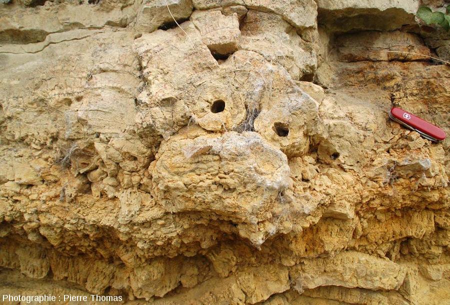 Détail de la couche de tempestite de roseaux stromatolithisés couchés