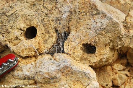 Zoom sur des roseaux stromatolithisés couchés