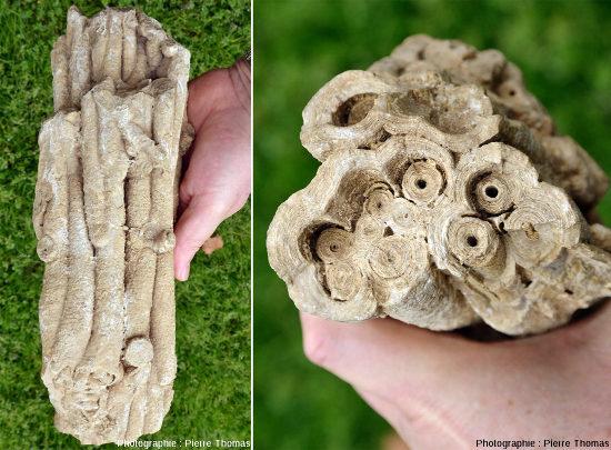 """Une """"touffe d'herbes aquatiques stromatolithisées"""" vue par le côté et par la tranche"""