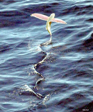 Poisson volant en plein vol